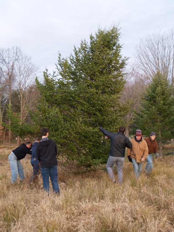 2015-12-18 CLC Xmas tree felling_standing PC181173