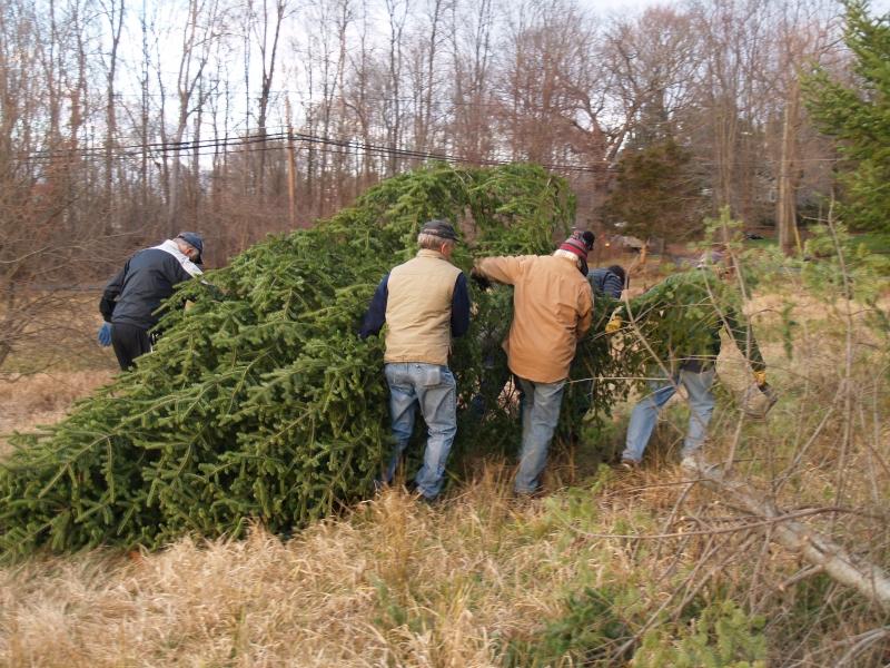 2015-12-18 CLC Xmas tree felling_standingPC181176
